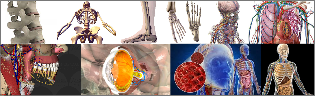 3D anatomical Modeling visualization and animations services